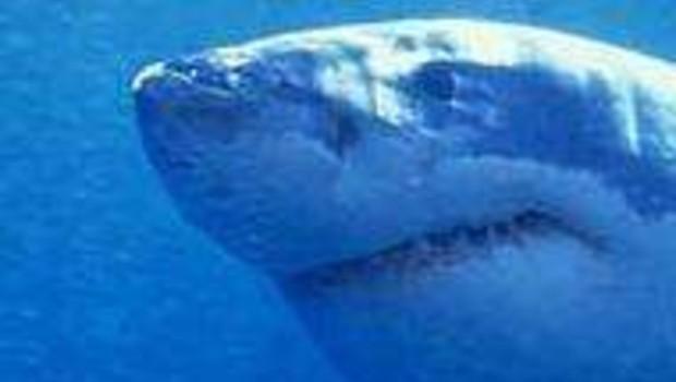 Un requin en vadrouille