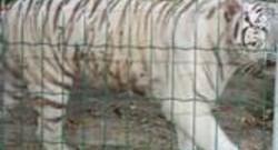 félins d'auneau tigre blanc