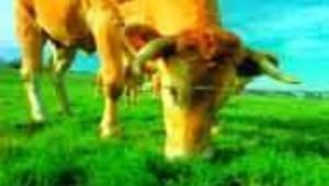 jolie vache broutant dans un pré
