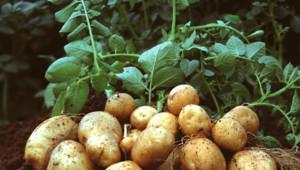 Bruxelles a renoncé a autorisé la pomme de terre OGM Amflora.