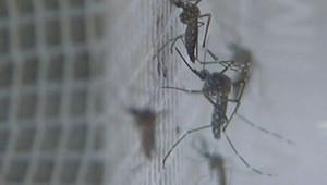 TF1/LCI : Des moustiques