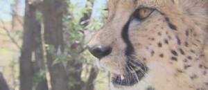 Velvet, un guépard de deux ans