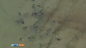 Baleines échouées