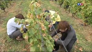 Le 13 heures du 1 novembre 2013 : La production du vin en baisse - 522.1455354919434