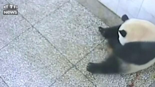 Un panda géant donne naissance à des jumeaux dans un zoo chinois