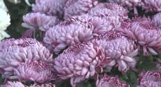 Le 13 heures du 31 octobre 2014 : Toussaint : une f� tr�lucrative pour les fleuristes - 256.949
