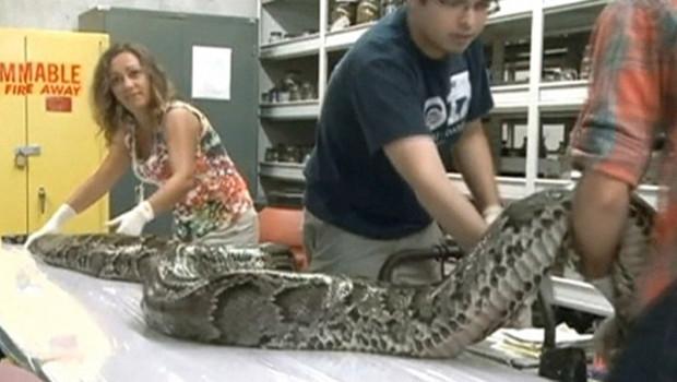 Un python femelle de 5 mètres de long a été retrouvée dans le parc national des Everglades en Floride.