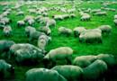 moutons ovins mouton
