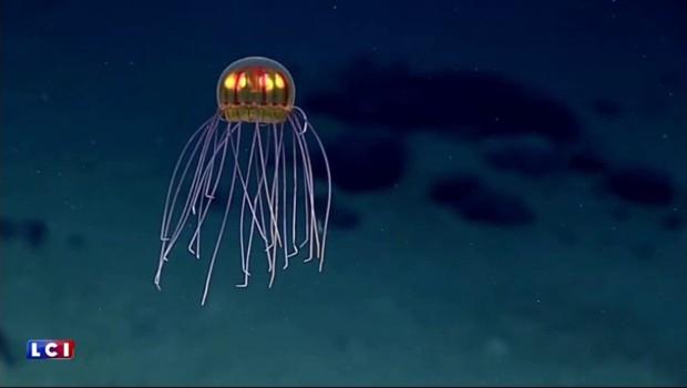 Découverte d'une nouvelle espèce de méduse dans les profondeurs du Pacifique