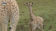 Bienvenue au girafon du zoo de San Diego en Californie