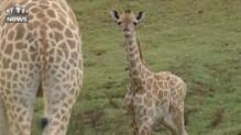 Un bébé girafe qui apprend à courir, ça donne ça
