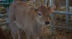 Le 13 heures du 26 février 2015 : En voie d'extinction, la maraîchine est une vache comme on n'en fait plus - 1363.2170915527345