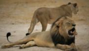 Le lion CecilLe lion Cecil