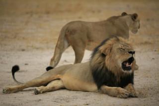 Un dentiste américain accusé d'avoir tué Cecil, le lion à la crinière noire du Zimbabwe