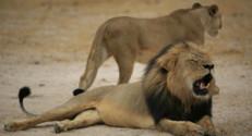 Mort du lion Cecil au Zimbabwe