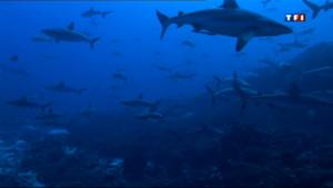 Le 20 heures du 25 avril 2013 : En Polyn�e, �a rencontre de requins inoffensifs - 1699.8990000000001