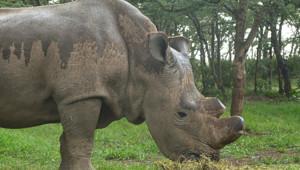 rhinocéros blanc du nord animal