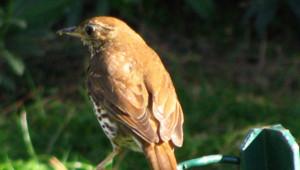 Grive oiseau
