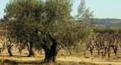 olivier olive oléiculture arbre huile Saint-Guilhem-le-désert AFP