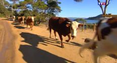 Le 13 heures du 21 avril 2015 : Le retour des vaches sur leur plancher de Porquerolles - 1047.706