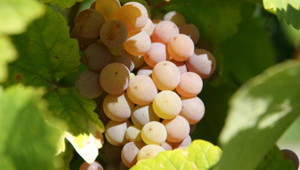 Vigne grappe de raisins