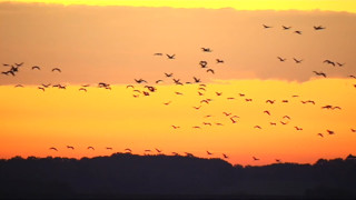 Les images de la migration des grues cendrées