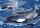 Des orques du Marineland d'Antibes (Image d'illustration)