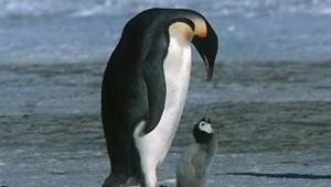 manchot empereur adulte poussin antarctique