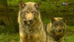 Les loups menacent les troupeaux