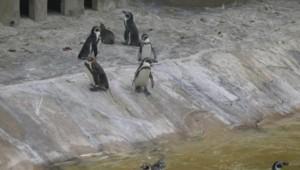 Manchots Humboldt Zoo de Vincennes