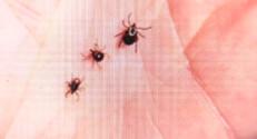 Le 13 heures du 23 septembre 2014 : La maladie de Lyme ne se soigne pas en France - 1304.35453704834
