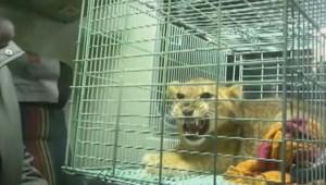 Un lionceau en cage retrouvé à bord d'un train russe.
