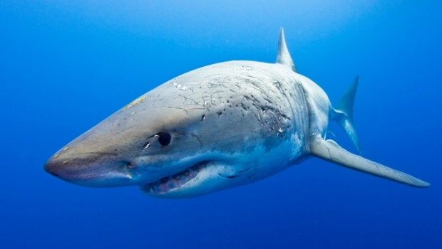 Un requin blanc/Image d'archives