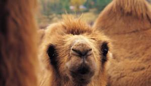 Un chameau/Image d'archives