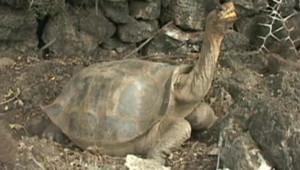 Georges le solitaire, la dernière espèce d'une tortue des ïles Galapagos, est mort dimanche (le 24.06.2012). Ici sur la photo.