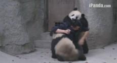 Bébé panda en Chine