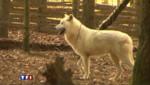 Il faut sauver les loups arctiques