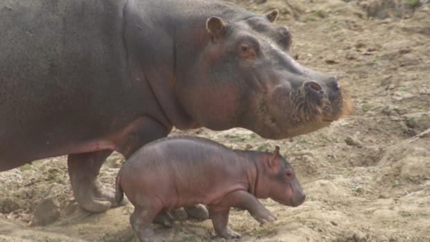Un bébé hippopotame est né le 7 septembre au parc animalier de Planète Sauvage, en Loire-Atlantique. Le voici avec sa maman.