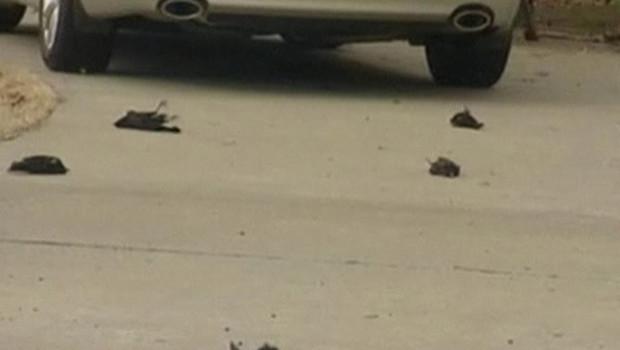 Les habitants de Beebe, petite ville de l'Arkansas, ont eu la surprise de découvrir plus d'un millier d'oiseaux morts le 1er janvier 2011