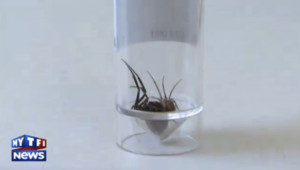 Araignée très venimeuse, Grande-Bretagne