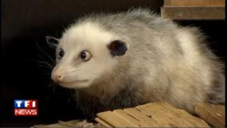http://s.tf1.fr/mmdia/i/49/0/heidi-l-opossum-qui-louche-convie-aux-oscars-10393490whoko_1902.jpg?v=1