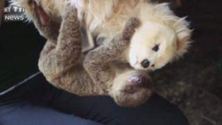 Délaissé par sa mère, ce bébé paresseux trouve du rénconfort dans les bras...d'une peluche