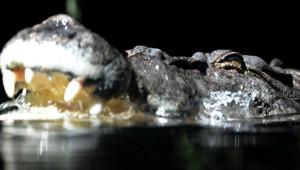 Crocodile en Australie (image prétexte)