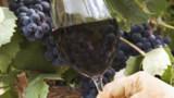 Les cépages : la personnalité des vins