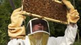 Le nombre d'apiculteurs suit celui des abeilles : en chute libre