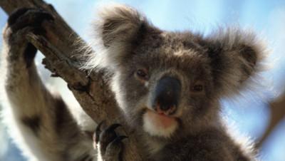 Koala - Australie.