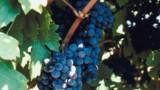 Cadillac-Côtes-de-Bordeaux, vins rouges en bord de Garonne