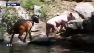 Un cochon sauve une chèvre de la noyade