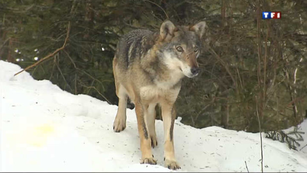 Dans les Alpes-Maritimes, des loups en semi-libert