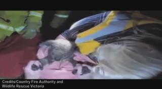 Un koala est ramené à la vie... grâce à du bouche-à-bouche